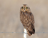 Owl, Short-eared (Bear River FWMA)
