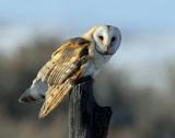 Owl, Barn