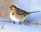 Sparrow, Harris's