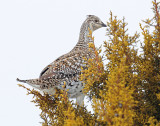 Grouse, Sharp-tailed (Jan 14, 2013)