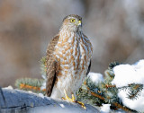 Hawk, Sharp-shinned