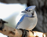 Jay, Blue