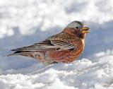 Rosy Finch Gray-crownedD-260 .jpg