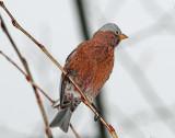 Rosy Finch Gray-crownedD-254 .jpg
