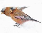 Rosy-Finch Gray-CrownedD-063.jpg