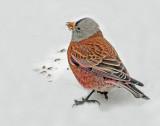 Rosy-Finch Gray-CrownedD-064.jpg
