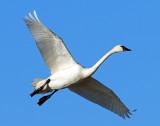 Swan Tundra D-050.jpg