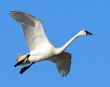 Swan Tundra D-051.jpg