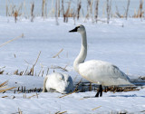 Swan Tundra D-056.jpg