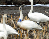 Swan Tundra D-074.jpg