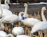 Swan Tundra D-075.jpg