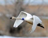 Swan Tundra D-078.jpg