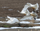 Swan Tundra D-081.jpg