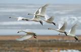 Swan Tundra D-083.jpg