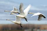 Swan Tundra D-086.jpg