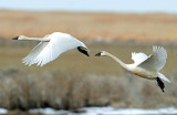Swan Tundra D-088.jpg