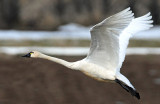 Swan Tundra D-091.jpg