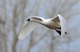 Swan Tundra D-093.jpg