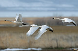 Swan Tundra D-102.jpg