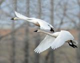 Swan Tundra D-106.jpg