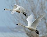 Swan Tundra D-107.jpg
