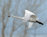 Swan Tundra D-111.jpg