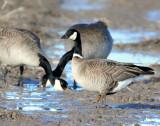 Goose, Cackling (Richardson's))