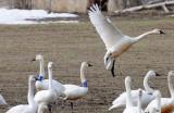 Swan Tundra D-120.jpg