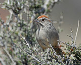 Sparrow's, Rufous-crowned