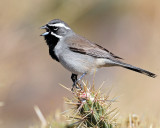 Sparrow's, Black-throated