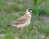Plover, Mountain (April 10, 2013)