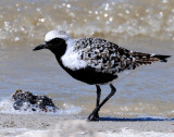 Plover, Black-bellied (April 23, 2013)