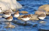 Sanderlings & Western Sandpiper