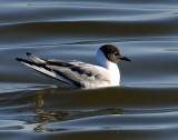 Gulls Bonapartes D-050.jpg