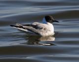 Gulls Bonapartes D-051.jpg
