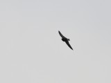 Swallows, Svalor