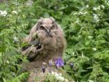 Owls, Ugglor