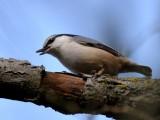 Nuthatch-Treecreeper, Nötväcka-Trädkrypare