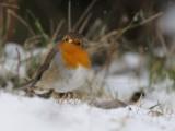 European Robin-Red flanked bluetail, Rödhake-Blåstjärt