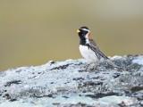 Sparrows/Buntings, Sparvar