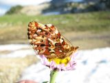 IMG_0292Purplish fritillary, Boloria montinus