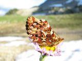 IMG_0293Boloria montinus Purplish Fritillary.JPG