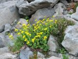 IMG_0316mountain arnica Arnica latifolia.JPG