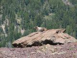 IMG_0396Hoary marmot.JPG