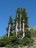 IMG_0400Alpine fir trees.JPG