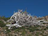 silvered pine treeIMG_0401.JPG