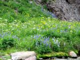 IMG_0335Wildflowers Grays lovage lupine arnica.JPG