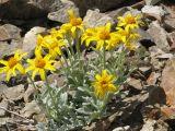 IMG_0355 Woolly sunflower. Eriophyllum lanatum var. integrifolium.JPG