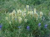 IMG_0411Bracted Lousewort  Pedicularis bracteosa.JPG