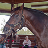 The great thoroughbred racehorse, Cigar